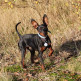 10-Miniature-Pinscher.jpg