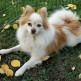05-Pomeranian.jpg