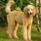 09-Standard-Poodle.jpg