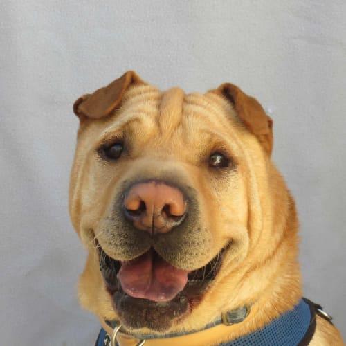 Steve - Shar-Pei Dog
