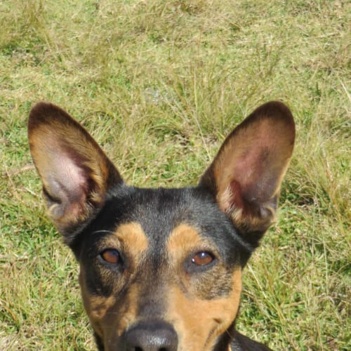Matilda - Kelpie Dog