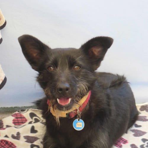 Rex - Schnauzer, Standard x Terrier Dog