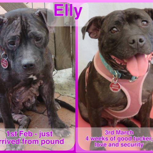Elly - Staffy Dog