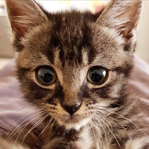 Filby - Domestic Short Hair Cat