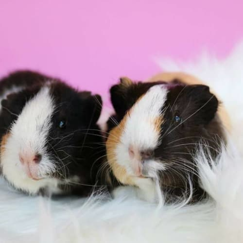 Paloma and Poppy -  Guinea Pig