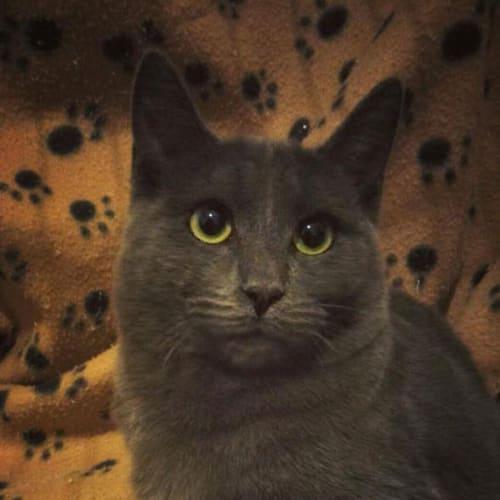 AC0793 - Teddy - Domestic Short Hair Cat