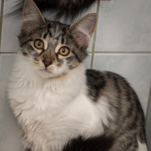 AK2456 - Kabi - Domestic Medium Hair Cat