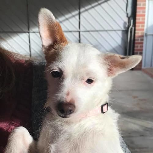 Tinkerbell - Shih Tzu x Terrier Dog