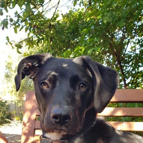 Hugo - Bull Arab x Mixed Breed Dog