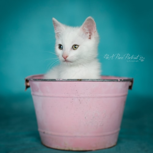 Odette - Domestic Short Hair Cat