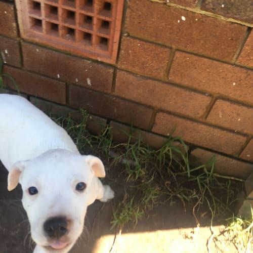 Leon - American Staffordshire Terrier Dog