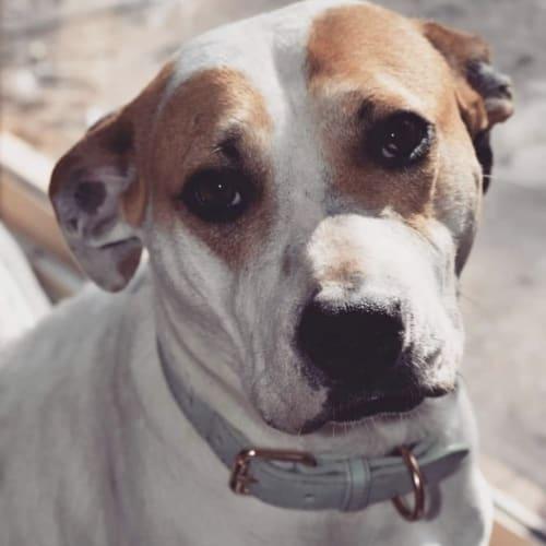 Quinn - Staffordshire Bull Terrier Dog