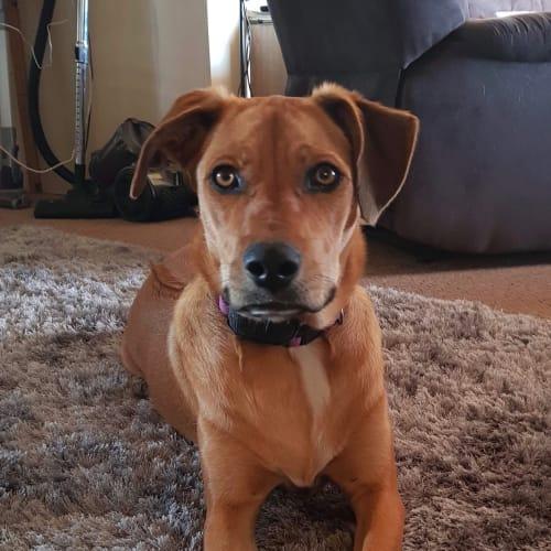 Koda! - Kelpie x Rhodesian Ridgeback Dog