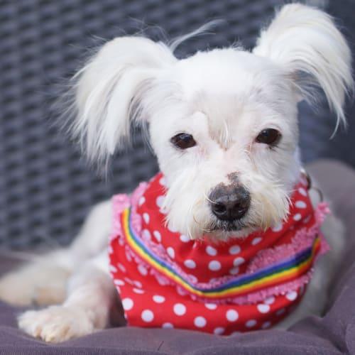 Oliver - Maltese Dog