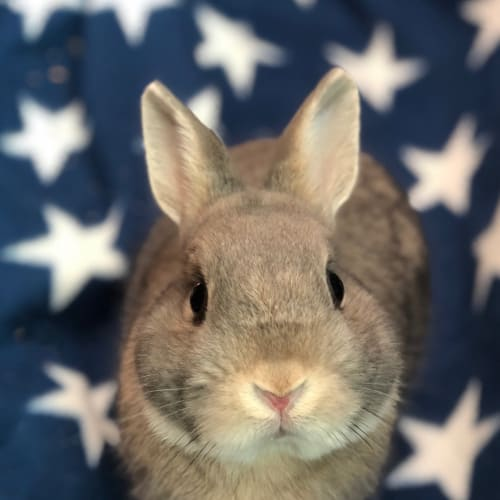 Ned - Netherland Dwarf Rabbit