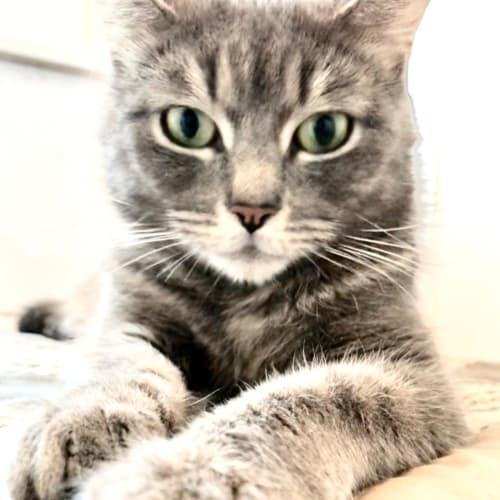 Dandy - Domestic Short Hair Cat