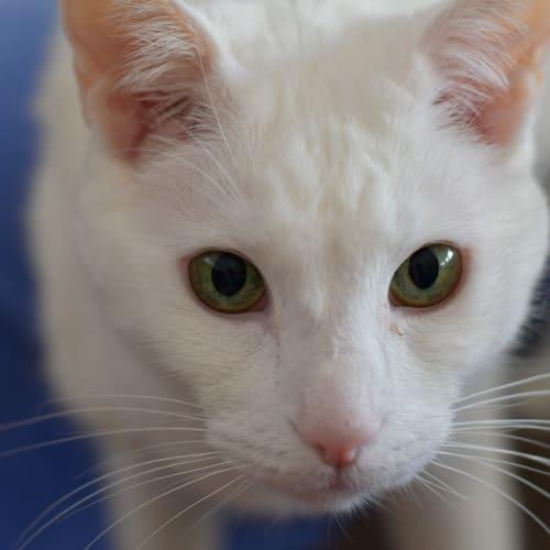 Yuki - Domestic Short Hair Cat