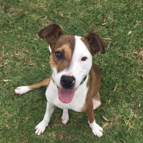 Baxter - Basenji Dog