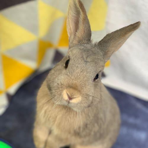 Nesquik - Netherland Dwarf Rabbit