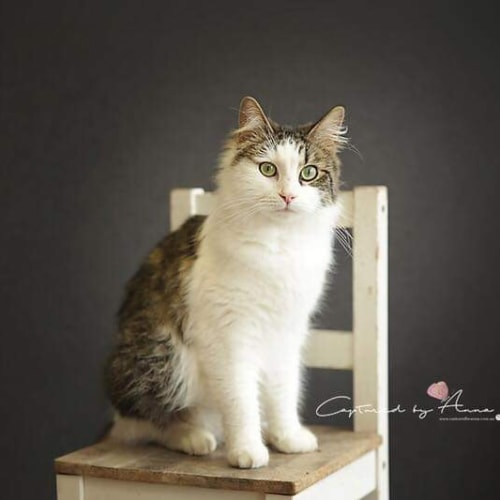 Josephine  - Domestic Medium Hair Cat
