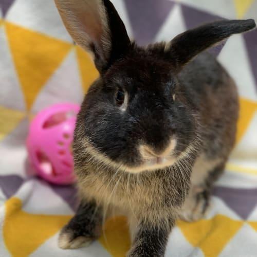 Woodsy - Dwarf Rabbit