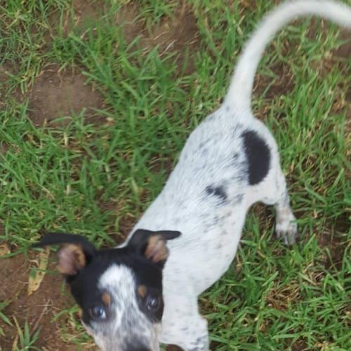 Celine - Australian Cattle Dog x Fox Terrier Dog