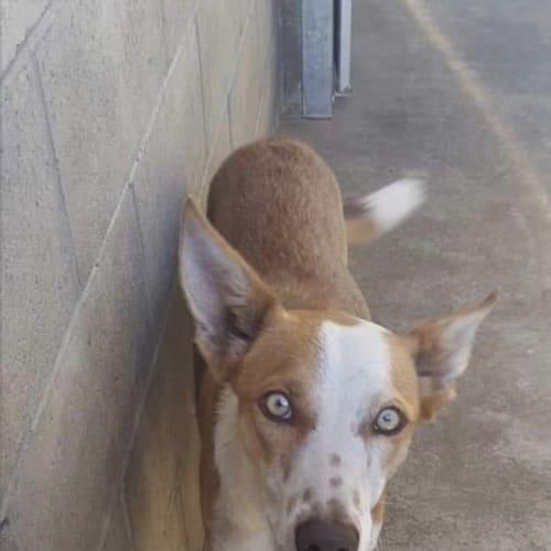 Maverick - Kelpie Dog