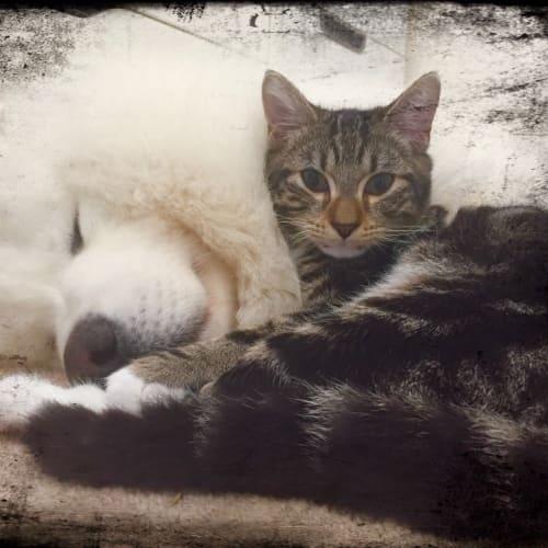 Dipsy - Domestic Short Hair Cat