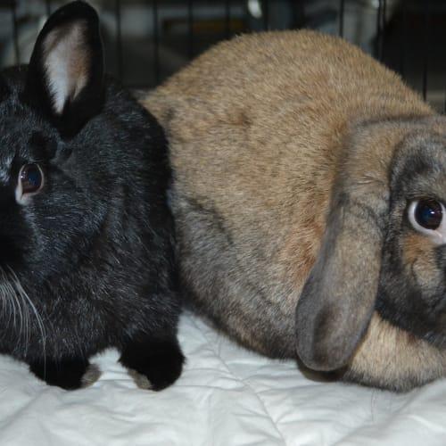 Sushi and Randy  - Dwarf Rabbit