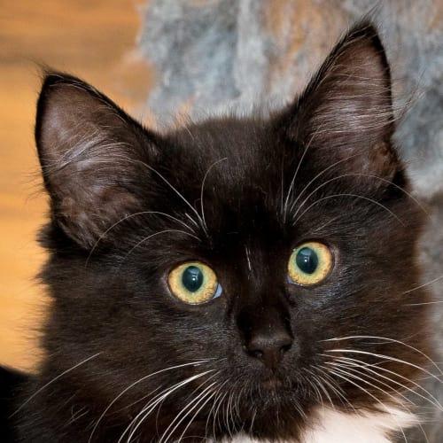 Jammie IF016-17 - Domestic Medium Hair Cat