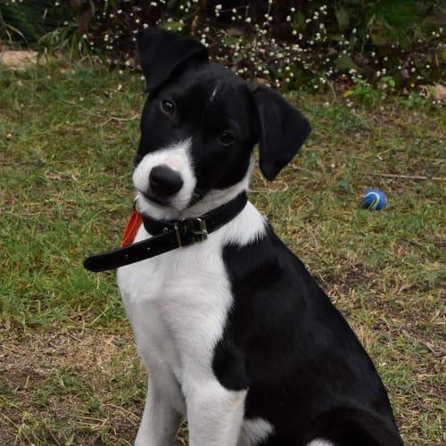 Kasper - Border Collie Dog