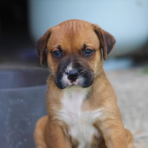 Cheerio - Labrador Dog