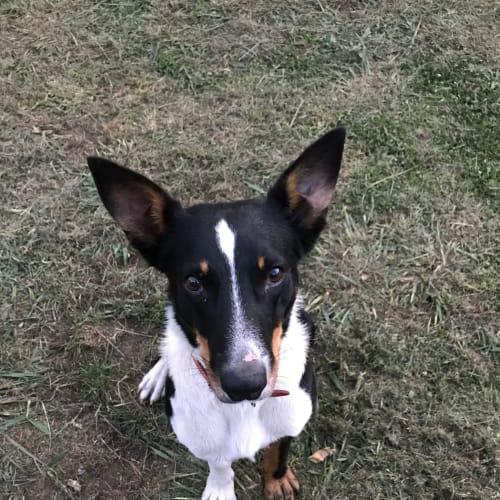 Roy - Collie Smooth Dog