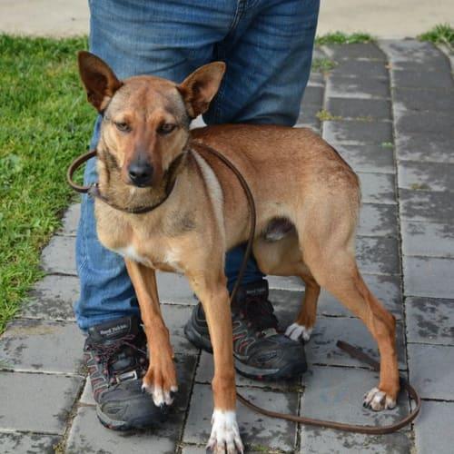 Onyx - Kelpie Dog