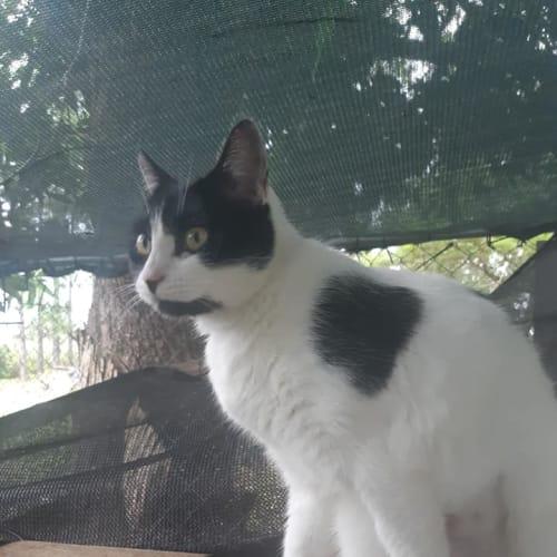 Ontari - Domestic Short Hair Cat