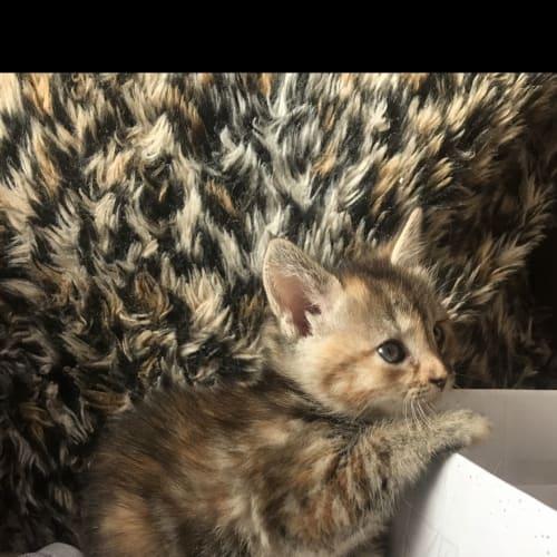Sahara - Domestic Short Hair Cat