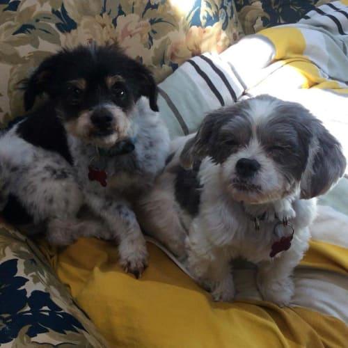 Zac & Ellie Farquhar - Maltese x Shih Tzu Dog