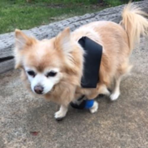 Kiki and Kiyo - Pomeranian Dog