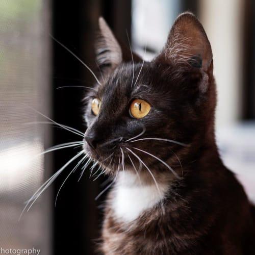 Hyacinth - Domestic Short Hair Cat