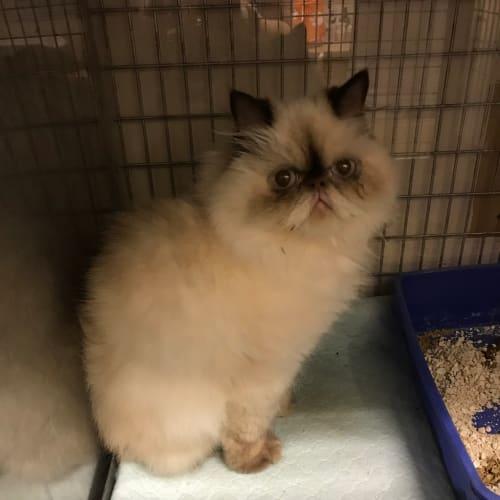 Tia - Persian Cat