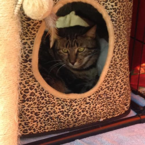 Milady IF094-15 - Domestic Short Hair Cat