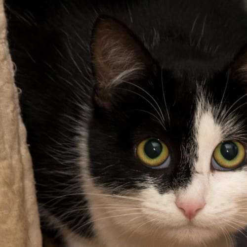Beanzy IF015-17 - Domestic Short Hair Cat