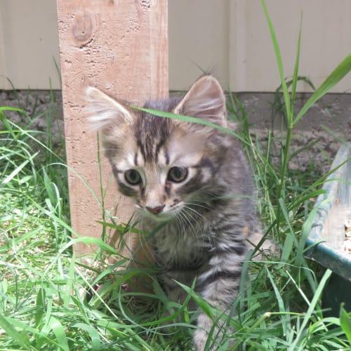 Mason - Domestic Short Hair x Domestic Medium Hair Cat