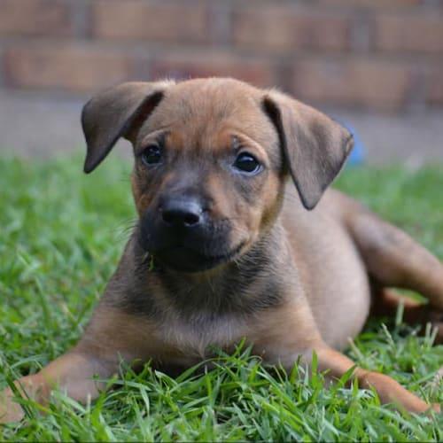 Marnie - Kelpie x Staffordshire Bull Terrier Dog