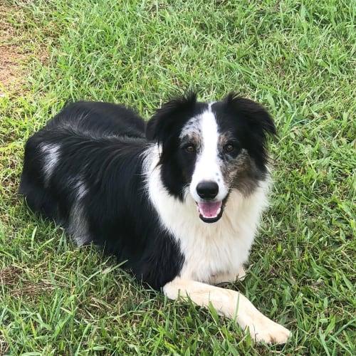 Jack - Border Collie Dog