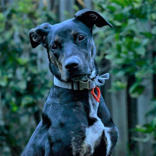 Eliza - Kelpie Dog