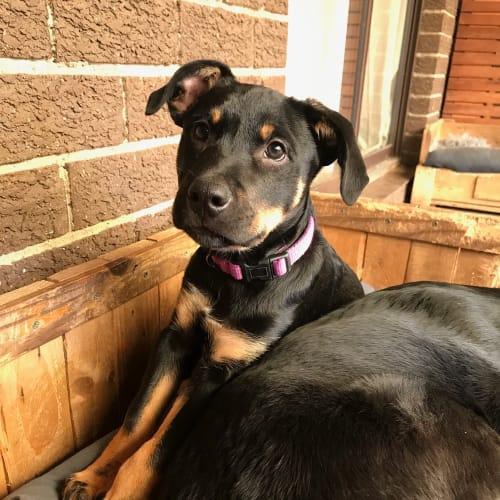 Otis  - Kelpie Dog