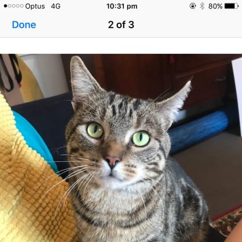 Pulka - Domestic Short Hair Cat
