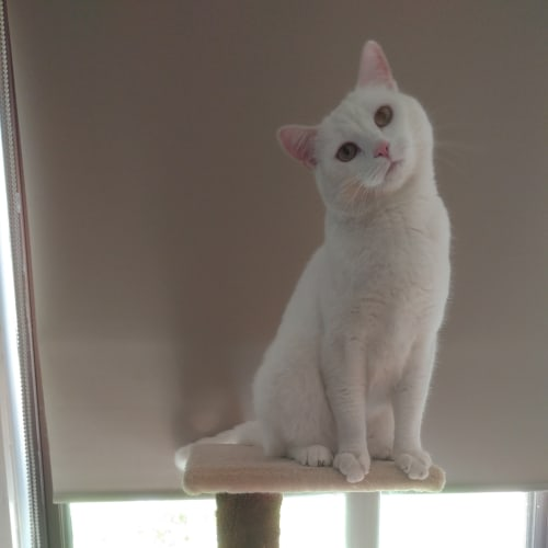 Toby Kostas - Domestic Short Hair Cat