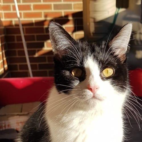 Poh - Domestic Short Hair Cat